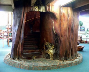 Abb. 5: Ein ca. 2.000 jährige Kauribaum, Neuseeland